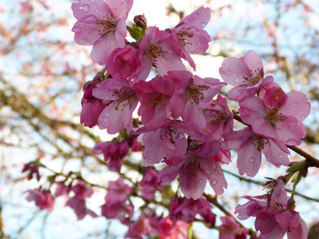cherry blossoms in full bloom in cadboro bay