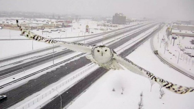 snow owl swoops in for a selfie